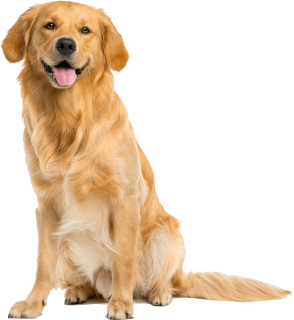 PNG Golden Retriever Dog - 53056