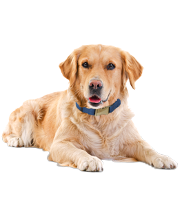 PNG Golden Retriever Dog - 53065