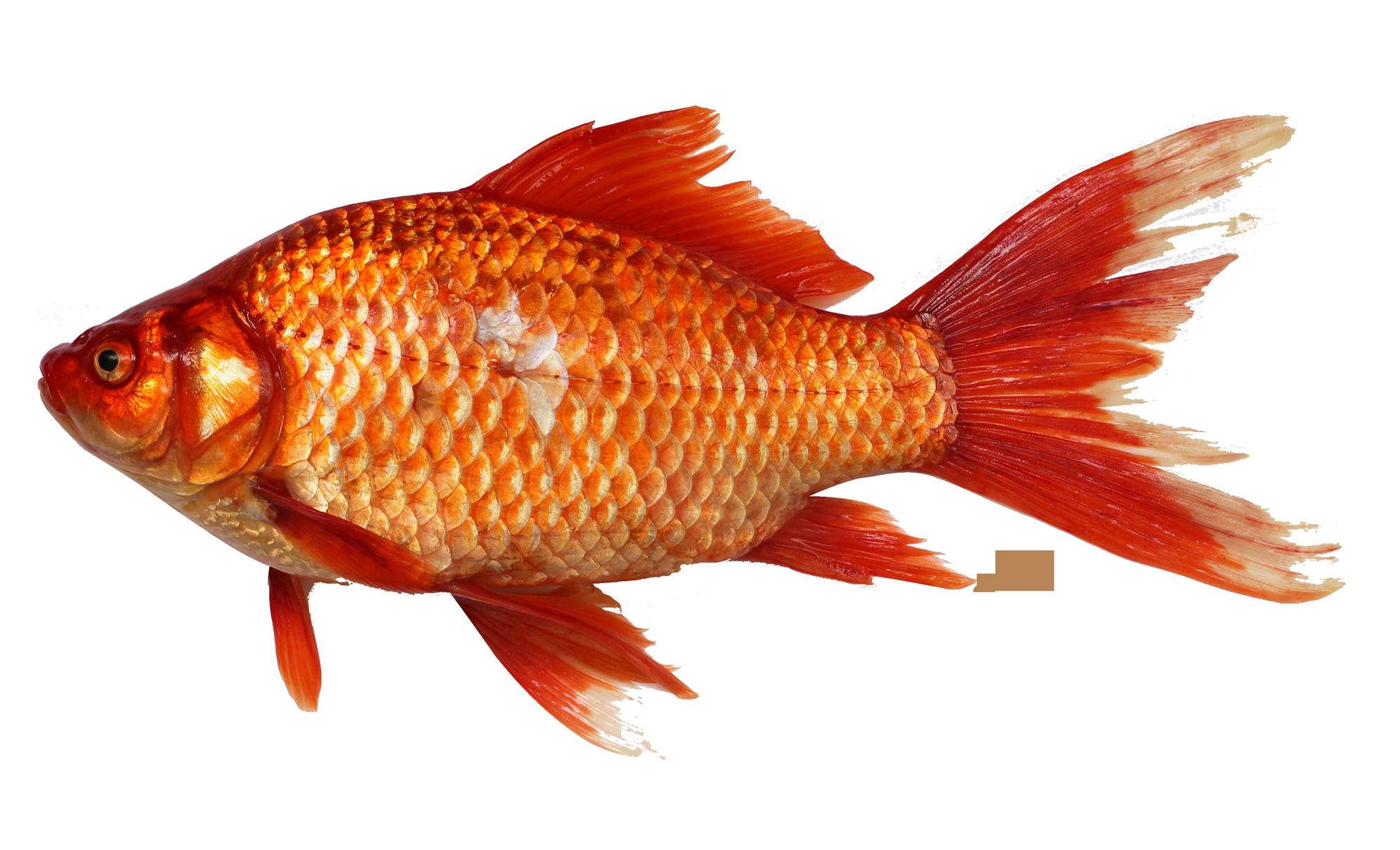 PNG Goldfish-PlusPNG.com-1993 - PNG Goldfish