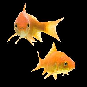 PNG Goldfish-PlusPNG.com-300 - PNG Goldfish