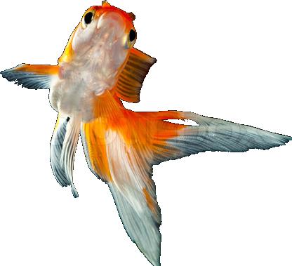 File:New goldfish.png - PNG Goldfish