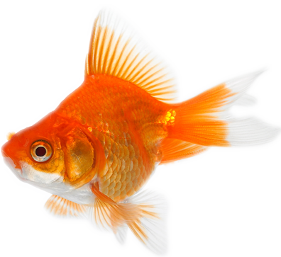 Fish Signs Of Water Quality image #3913 - PNG Goldfish