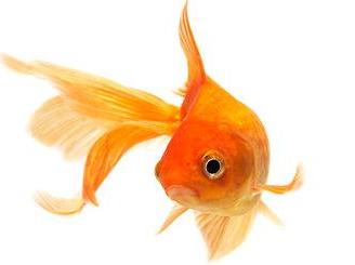 gold fish.PNG - PNG Goldfish