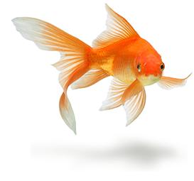 Goldfish - PNG Goldfish
