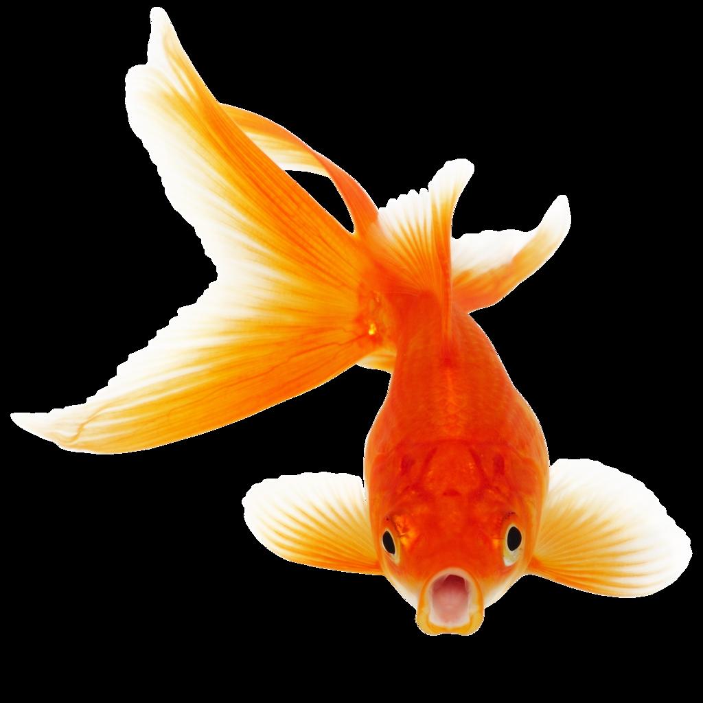 Goldfish by hrtddy Goldfish by hrtddy - PNG Goldfish