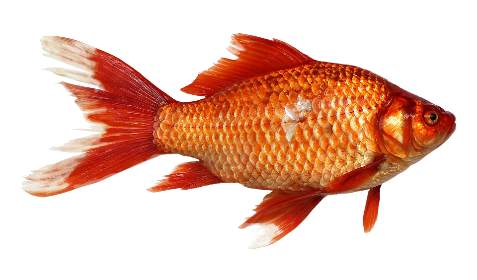 Goldfish, Carp, Fish, Transparent Background, Orange - PNG Goldfish