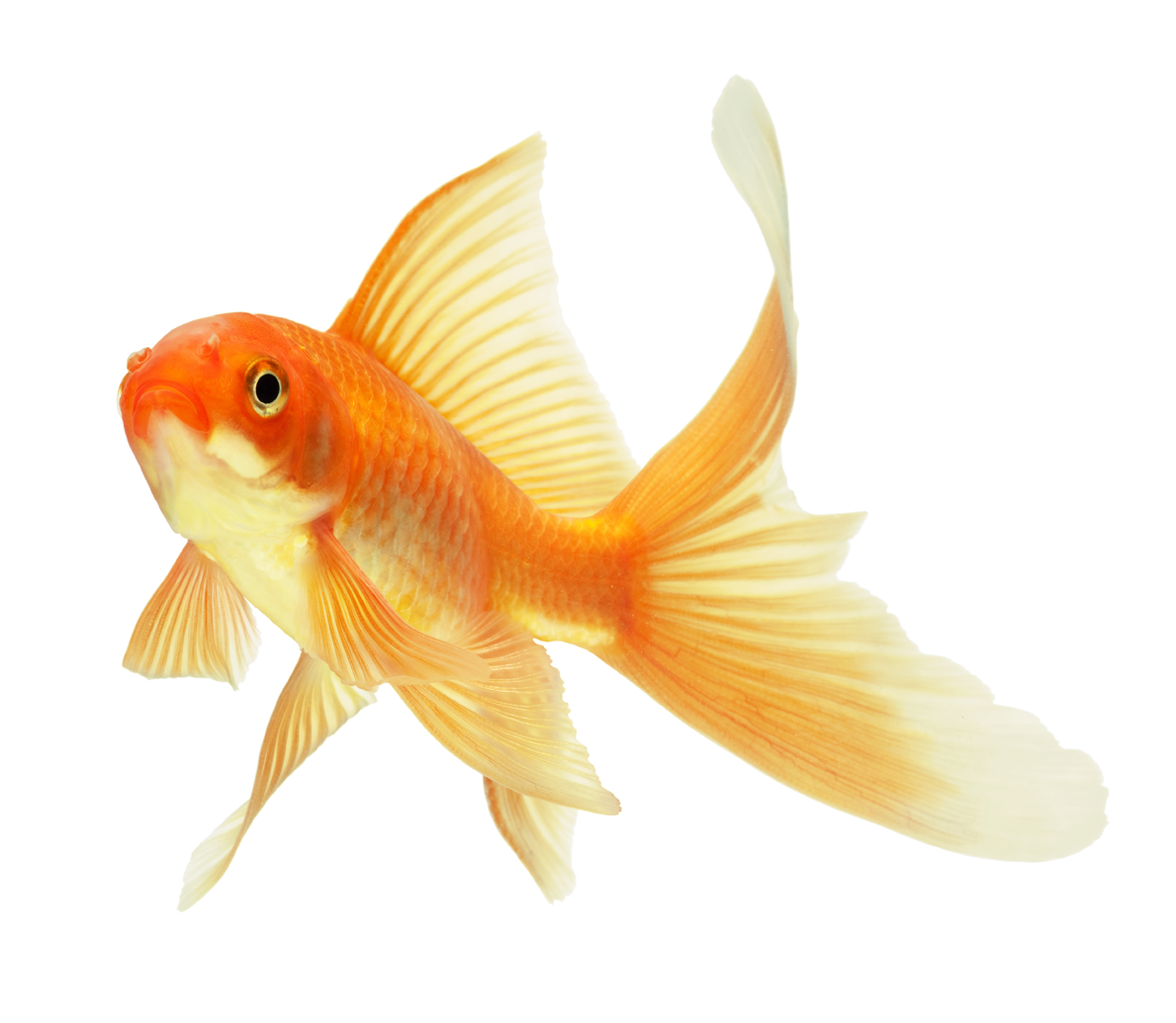 Gold Fishes Photos PNG Goldfish Tr...