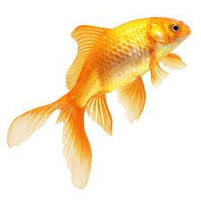 Image result for goldfish | swimming with the fishes | Pinterest | Goldfish - PNG Goldfish
