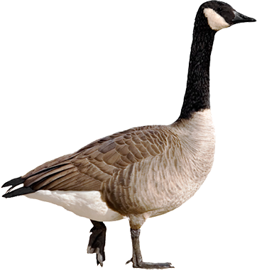 Canada Goose Solutions - PNG Goose
