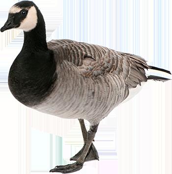 Goose PNG - PNG Goose