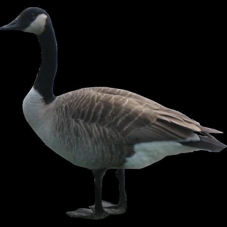 Goose PNG HD - PNG Goose