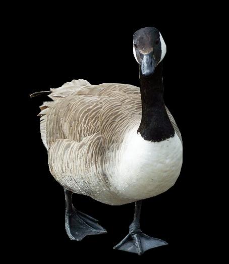 Goose PNG Transparent Image - PNG Goose