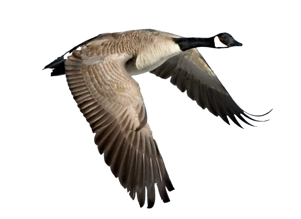 Png Goose by Moonglowlilly PlusPng.com  - PNG Goose