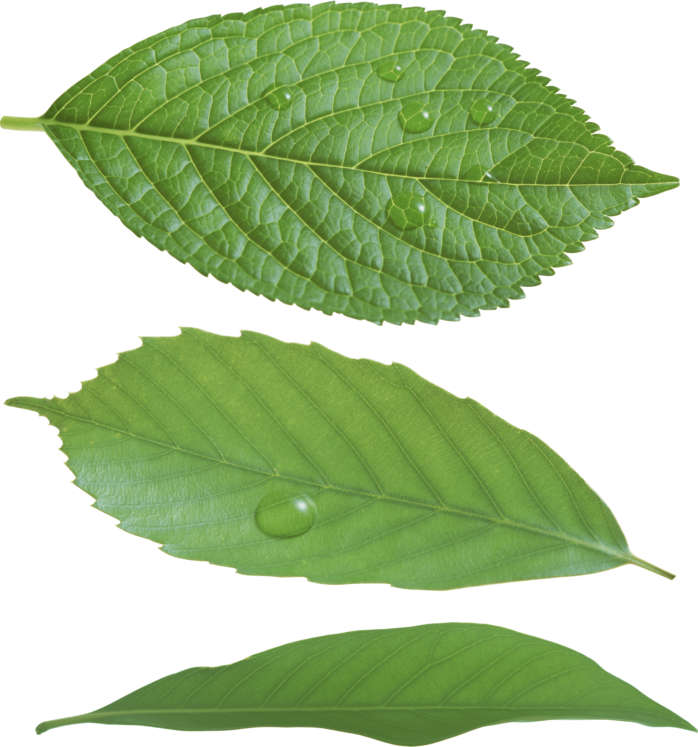 PNG Green Leaves Transparent Green Leaves.PNG Images ... - photo#30