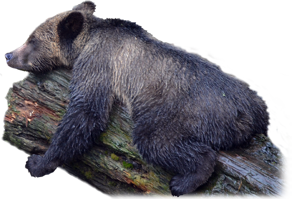 PNG Grizzly Bear - 50919
