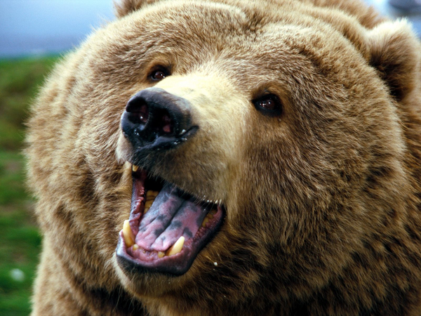 PNG Grizzly Bear - 50922