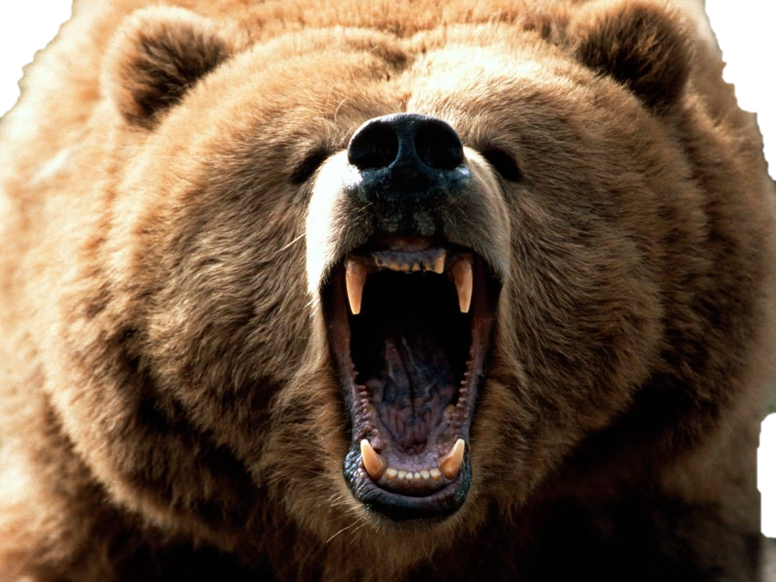 PNG Grizzly Bear - 50917