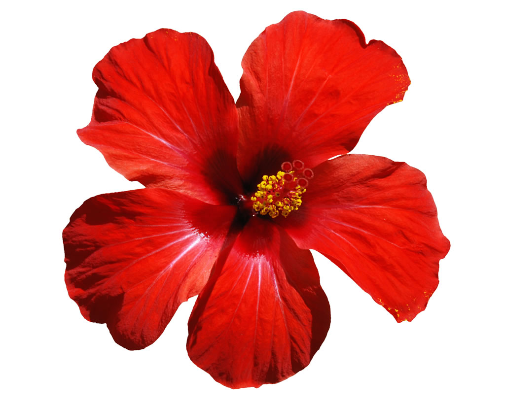 PNG Hawaiian Flower - 53364