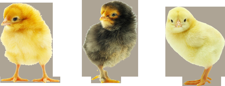 PNG HD Chicken - 140688