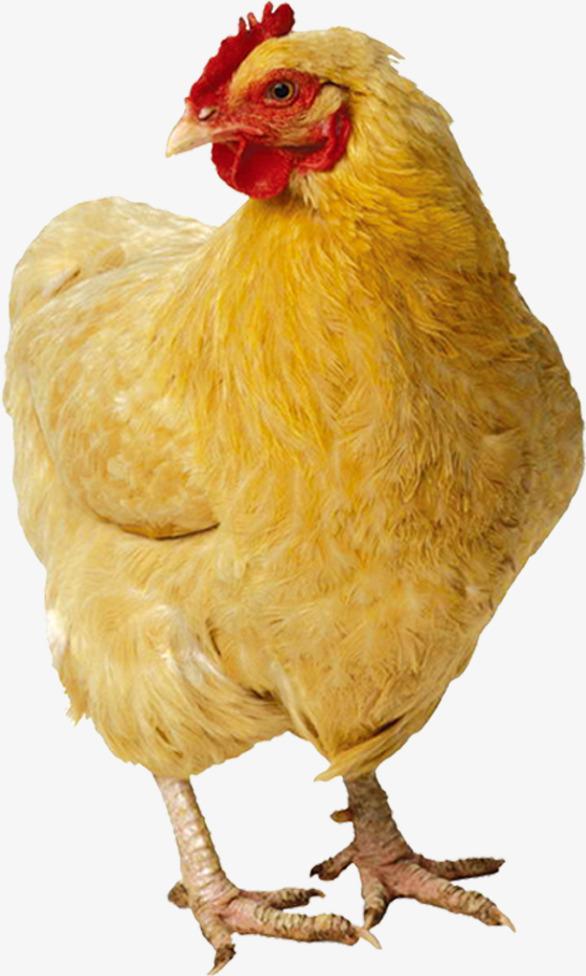 PNG HD Chicken - 140678