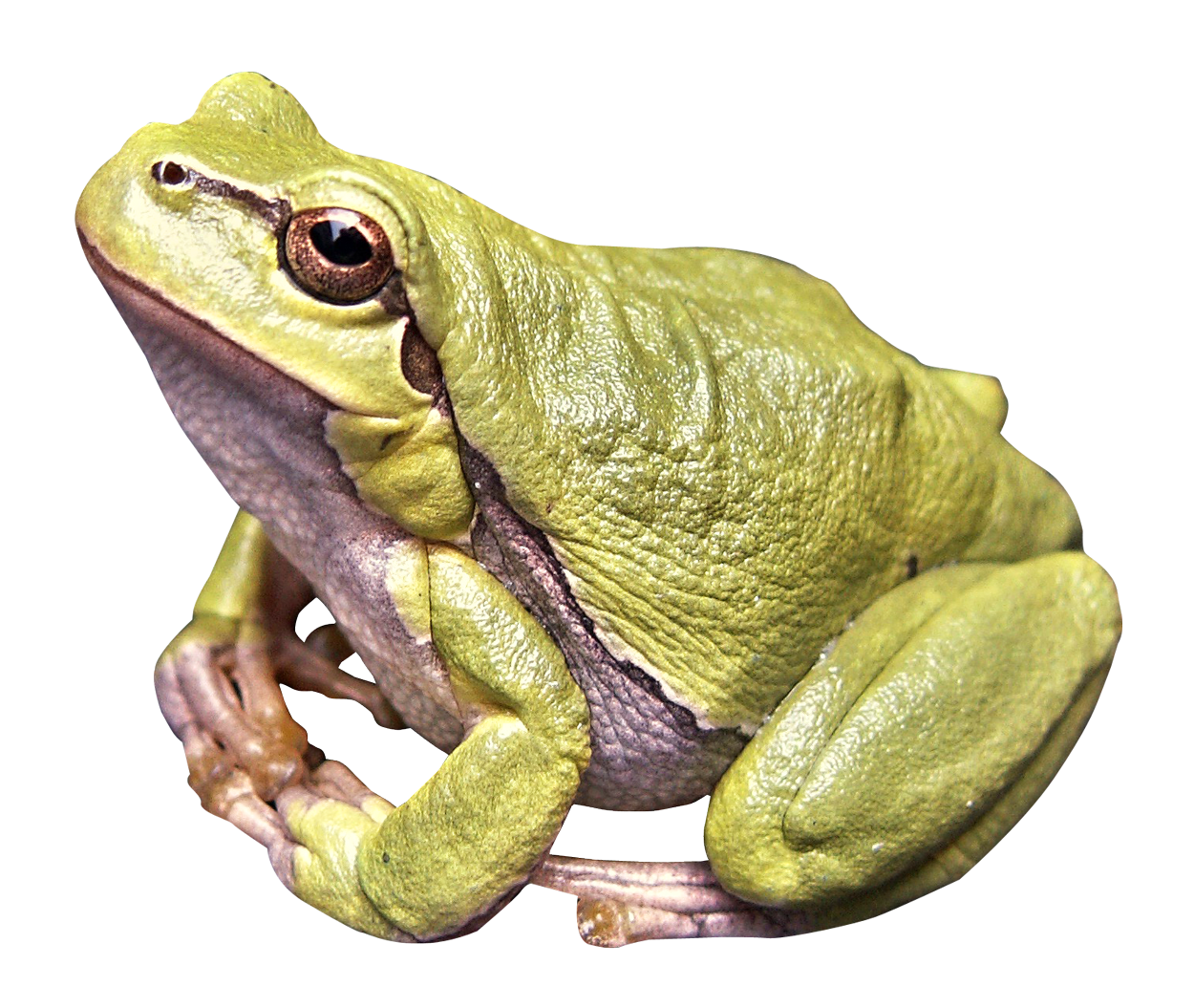 PNG HD Frog-PlusPNG.com-1250 - PNG HD Frog