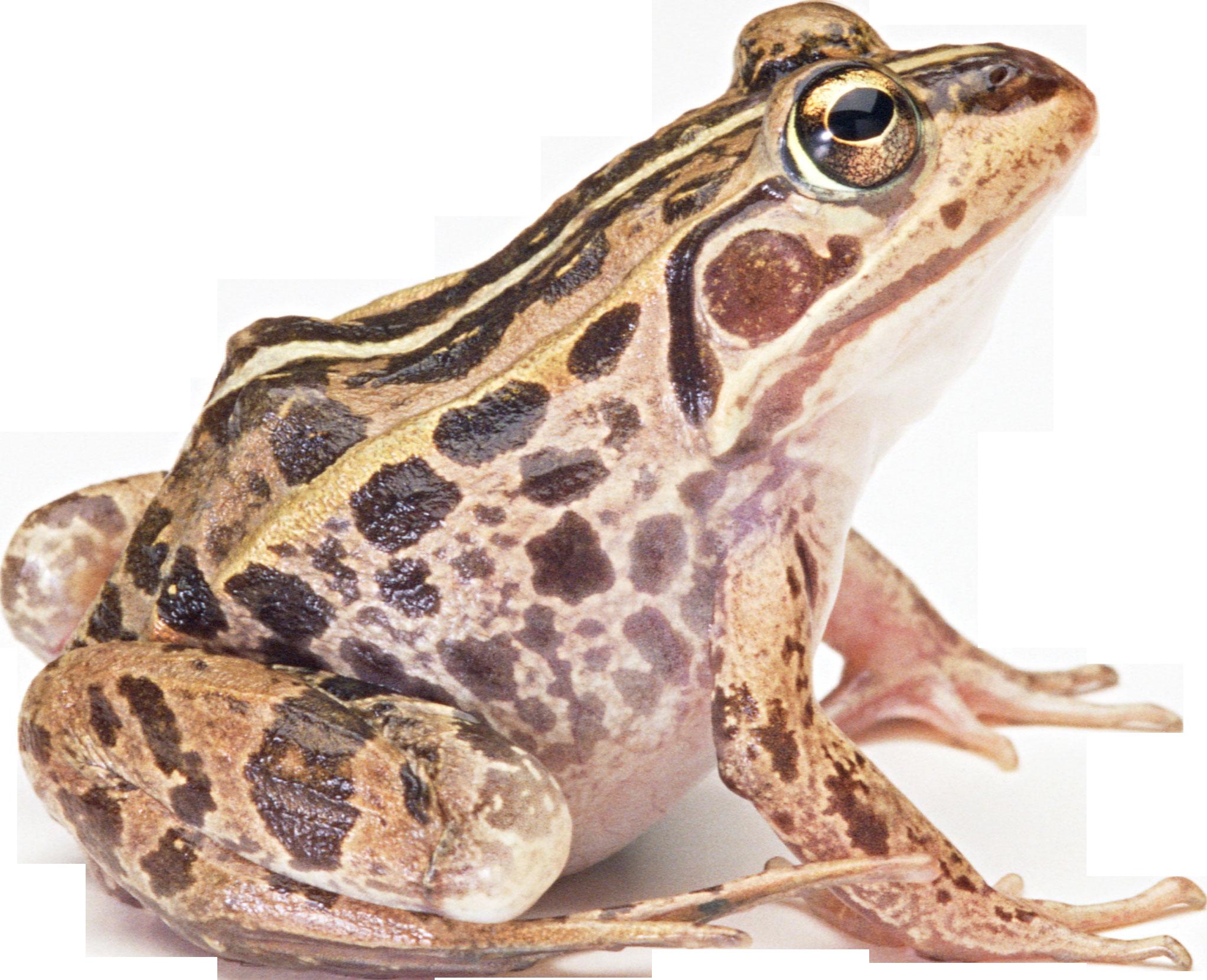 Amphibian PNG HD - PNG HD Frog