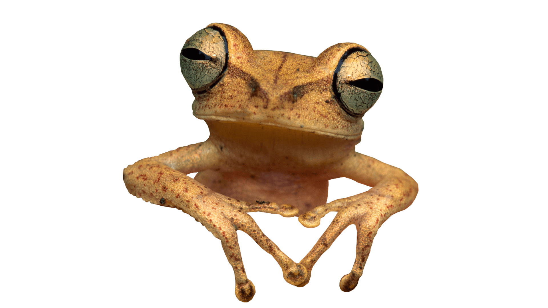 animals · frogs - PNG HD Frog