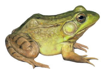 natural_greenFrog.png (350×252) - PNG HD Frog