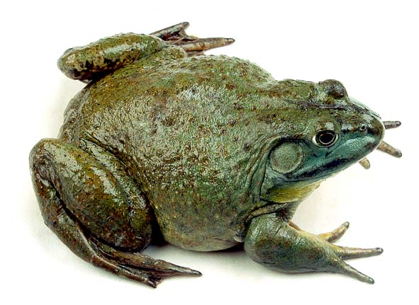 The bullfrog HD Images - PNG HD Frog