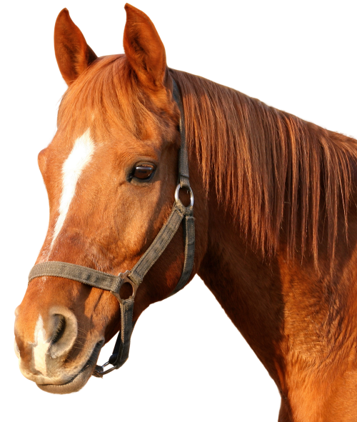 Download Horse PNG image - PNG HD Horse