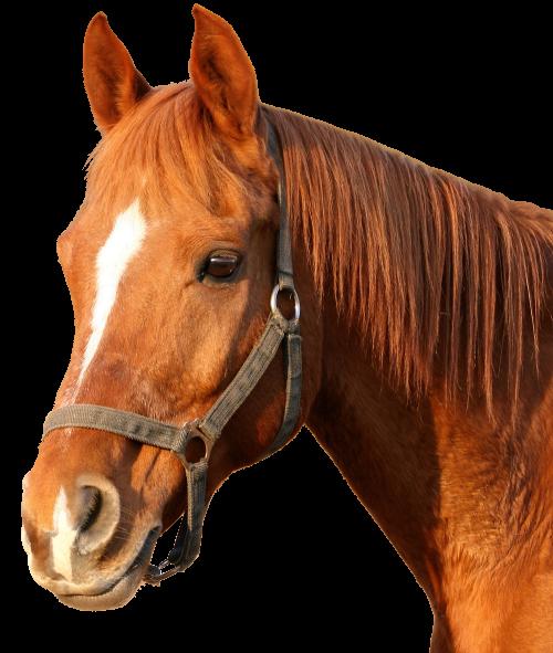 PNG HD Horse - 154929