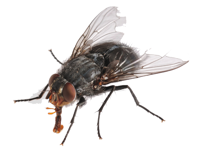 PNG HD Of A Fly