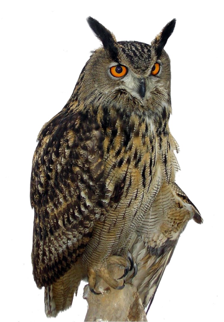 Eagle Owl PNG By LG-Design PlusPng.com  - PNG HD Of An Owl