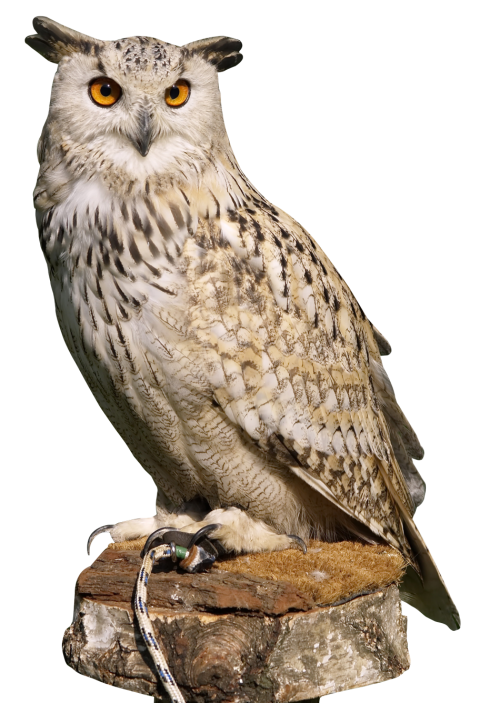 Eagle Owl PNG Transparent Image - PNG HD Of An Owl