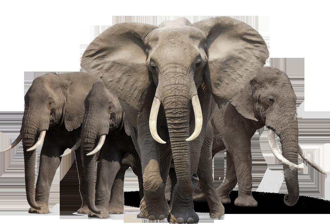 PNG HD Of Elephants