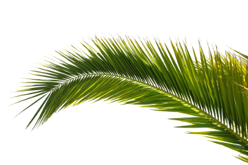palm tree top view png lef png image - PNG HD Palm Tree Beach
