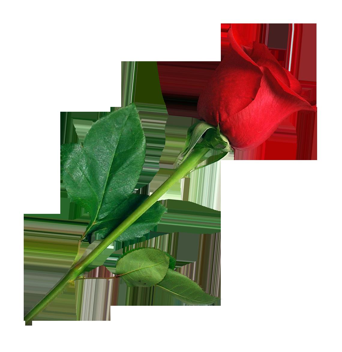 PNG HD Rose - 155198