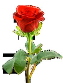 PNG HD Rose - 155197