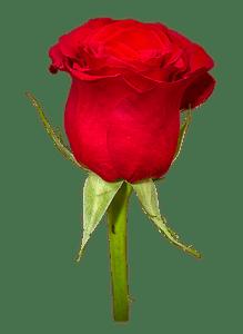 PNG HD Rose - 155201