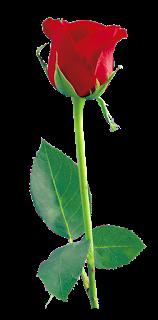 PNG HD Rose - 155194