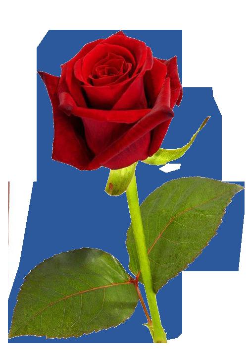 PNG HD Rose - 155193