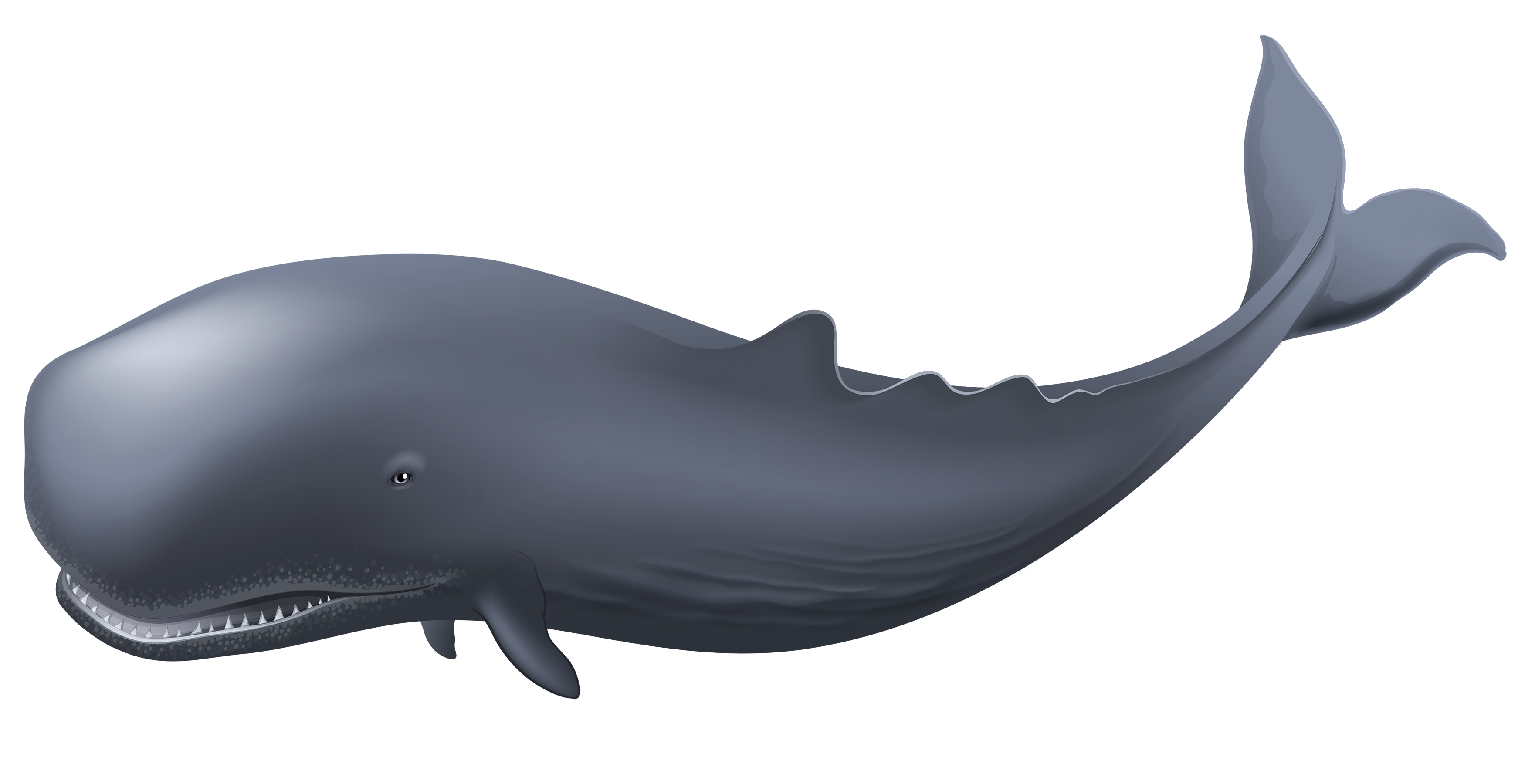 PNG HD Whale - 121894