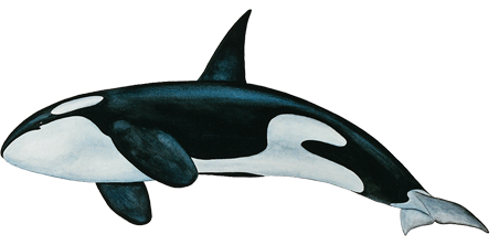 PNG HD Whale - 121904