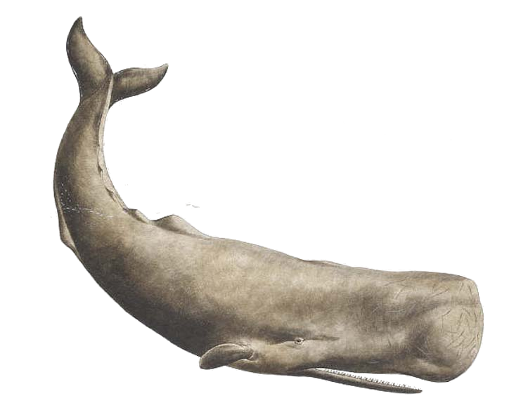 PNG HD Whale - 121905