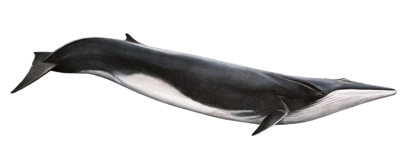 PNG HD Whale - 121901