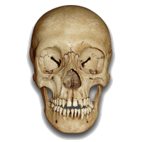 Skeleton Head Png File PNG Image - PNG Head