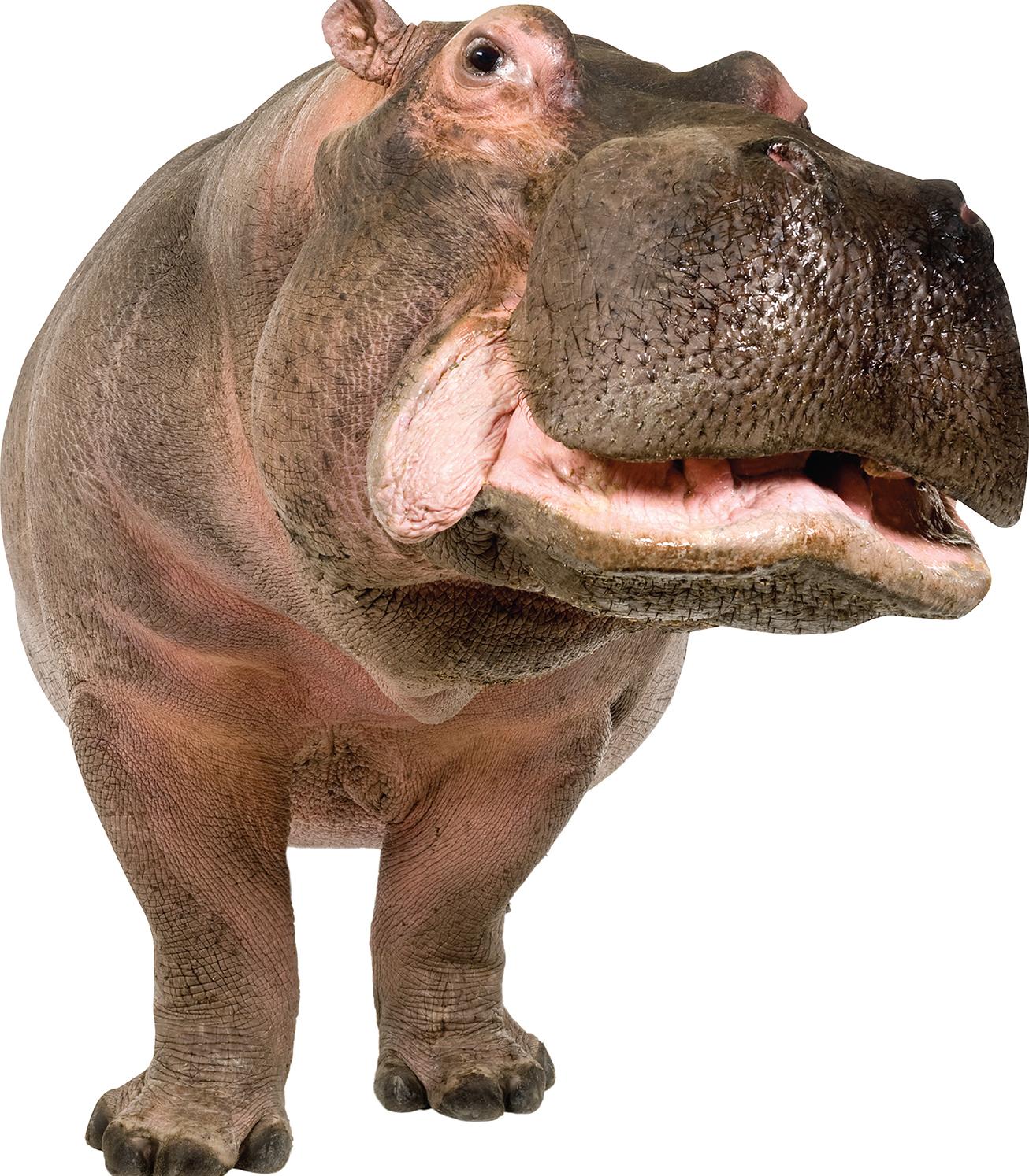 Hippo PNG - PNG Hippopotamus