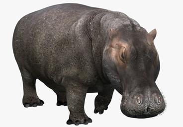 Hippopotamus - PNG Hippopotamus