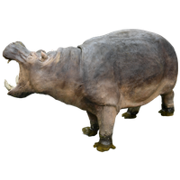 Hippopotamus Free Download Png PNG Image - PNG Hippopotamus
