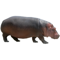 Hippopotamus Free Png Image PNG Image - PNG Hippopotamus